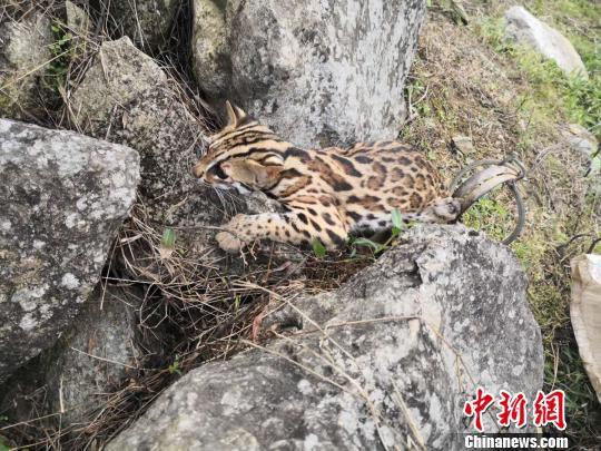 图为被铁夹困住的小萌豹猫。红河州森林公安局供图