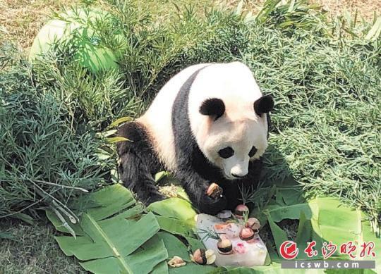 """大熊猫""""成双""""正在狂吃它的生日蛋糕。长沙晚报记者 周柏平 通讯员 刘姝伶 摄影报道"""