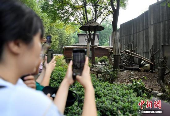 10月1日国庆假期首日,成都大熊猫繁育研究基地憨态可拘的大熊猫。图为游客用手机拍摄憨态可拘的大熊猫。安源 摄