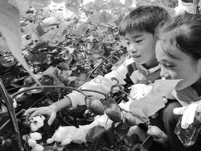 """校园里开出""""半亩棉田"""" 孩子感悟四季节气更替"""