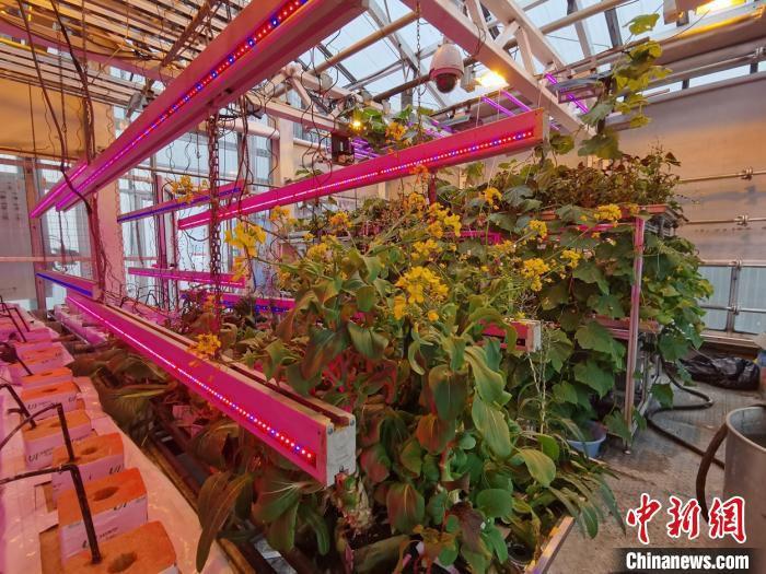 蔬菜|南极长城站驻站医生种菜记:大棚蔬菜绿意盎然、生机勃勃
