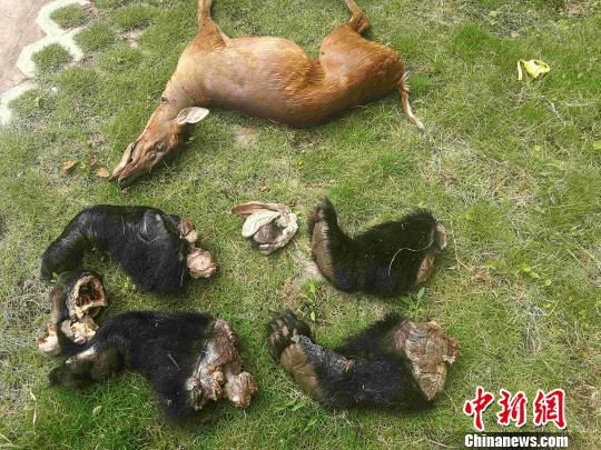 图为警方查获的黑熊制品6件、赤麂死体一只。普洱市森林公安局供图