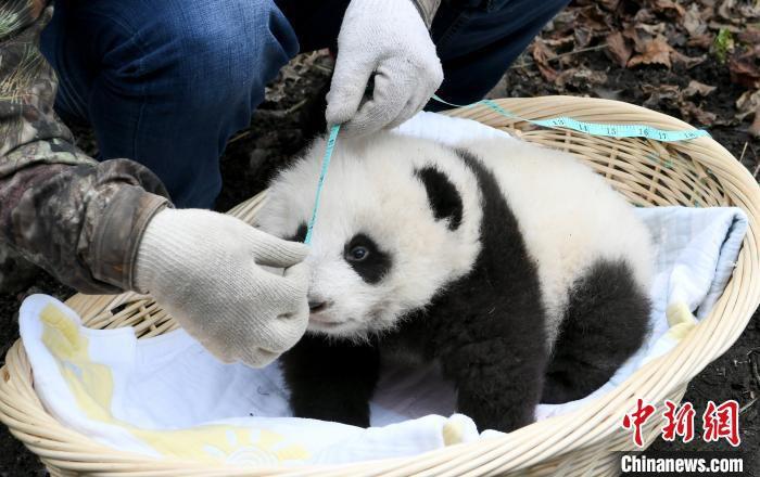 """工作人员为大熊猫""""乔乔""""幼仔测量体长。 安源 摄"""