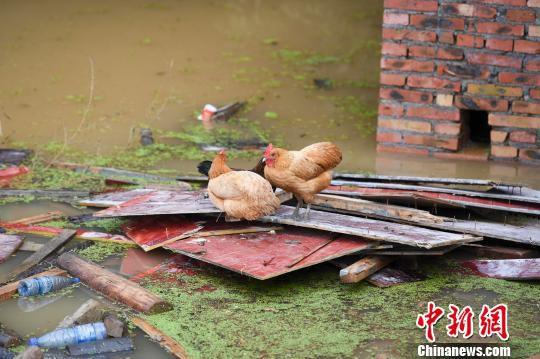 水面漂浮的门窗木板上,困着几只母鸡。 杨华峰 摄
