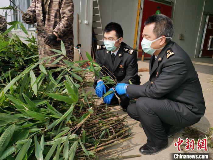 海关工作人员对出口俄罗斯的9件、527公斤大熊猫食用鲜竹进行现场检疫。 成都海关供图