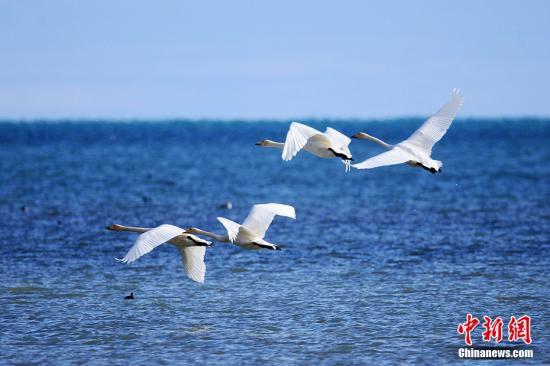 图为迁来青海湖越冬的大天鹅。 杨涛 摄