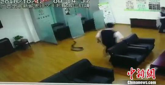 蟒蛇突然从天花板掉下,吓得银行员工四处躲避。视频截图 钟欣 摄
