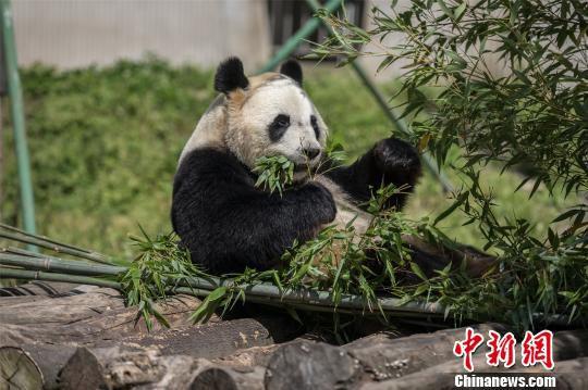 """全球唯一大熊猫三胞胎的姐姐""""萌萌"""",从广州至中国大熊猫保护研究中心卧龙神树坪基地完成配对。 麦念萍 摄"""