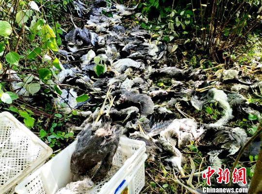 警方起获猎获物灰鹭 孝昌县森林公安局供图 摄