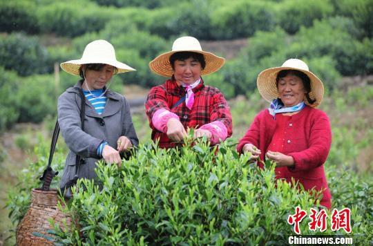 4月12日,第十二届太平猴魁开园仪式在太平猴魁的核心产区――黄山市黄山区新明乡猴坑村举行,图为茶农在茶园里采茶。 樊成柱 摄