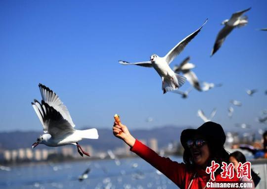 图为在昆明越冬的红嘴鸥吸引众多游客观赏喂食。 李进红 摄
