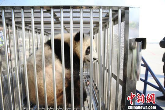 被接下机的大熊猫好奇的向外张望。 机场供图 摄