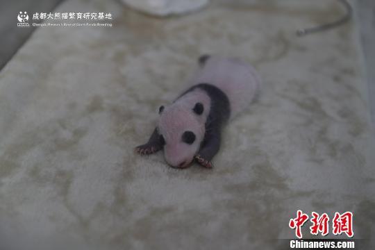"""满月的""""成浪""""。 熊猫基地供图 摄"""