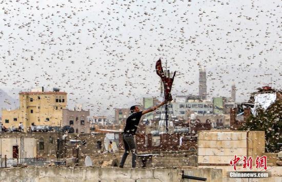 当地时间7月28日,也门萨那天空出现大片蝗虫,蝗虫漫天飞舞触目惊心。