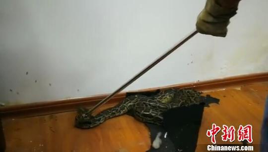 南宁市野生动植物保护站工作人员抓捕蟒蛇。视频截图 钟欣 摄