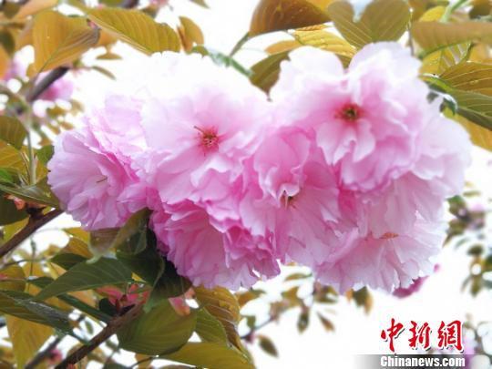 樱花迎春绽放。 王泽宇 摄