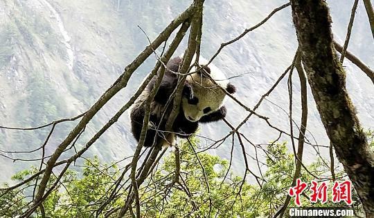 在树上玩耍的大熊猫宝宝。 钟欣 摄