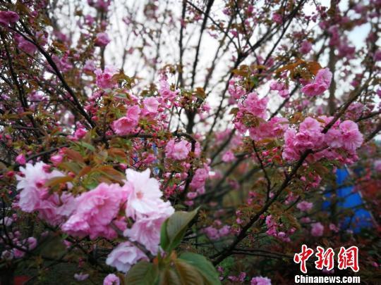 樱花迎春绽放。 杨海燕 摄