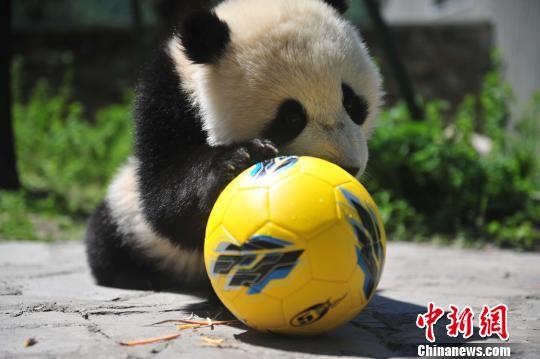熊猫宝宝玩足球。 钟欣 摄