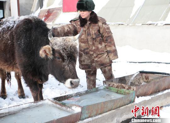 刘桂芝轻轻地拂去牛身上的杂草。 郝胜忠 摄