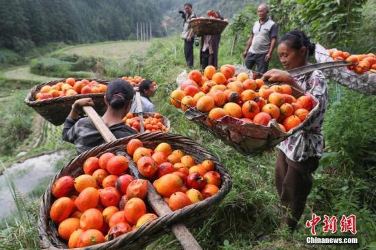 资料图:贵州丹寨吊瓜丰收助民众脱贫。贺俊怡 摄
