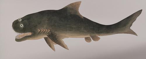 《给孩子的海错图》中的虎鲨。