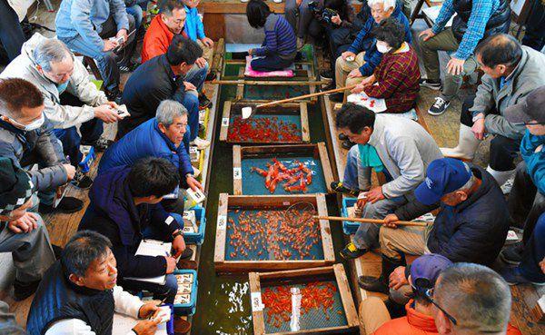 日本著名金鱼产地举行新年首次竞拍 最贵品种每条上千元(图片来源:朝日新闻网站)
