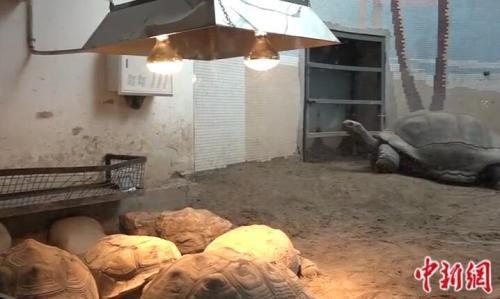 北京动物园中过冬的象龟。<a target='_blank' href='http://www.chinanews.com/' >中新网</a>记者 刘超 摄