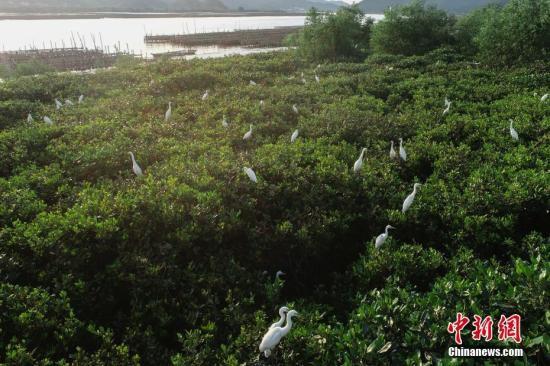 6月3日,航拍镜头下的广东镇海湾红树林国家湿地公园。据广东省台山市林业局统计,镇海湾红树林国家湿地公园规划总面积549.2公顷(其中湿地面积515.4公顷),该区域为典型的南亚热带海湾红树林湿地生态系统,是珠三角地区保存最完整、连片面积最大的一片红树林。<a target=