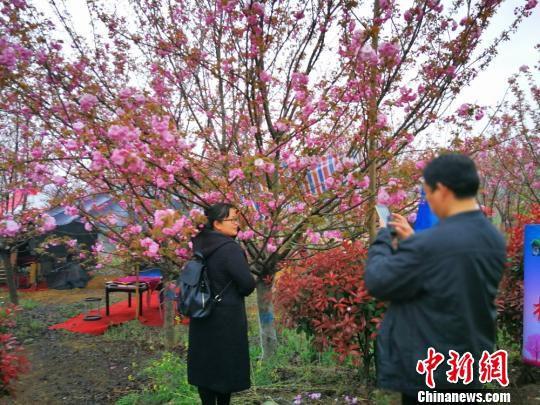 游人在樱花树下拍照留影。 杨海燕 摄