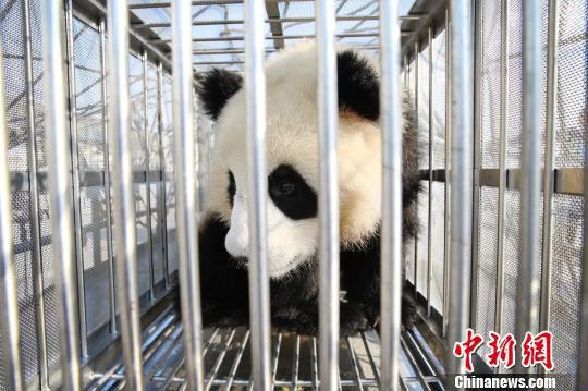 图为憨态可掬的大熊猫。 机场供图 摄
